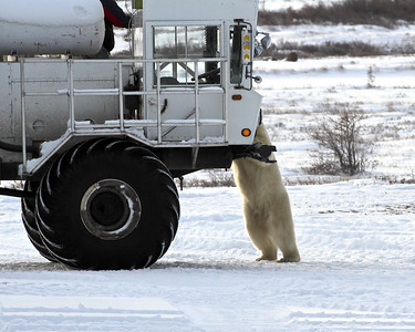 What's for Lunch?  On the tundra, Churchill, Manitoba