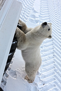 Curious Polar Bear Checks out the Tundra Rover at Churchill, Manitoba