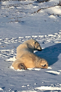 Polar Bear taking it easy waiting for the ice to harden on the Hudson Bay