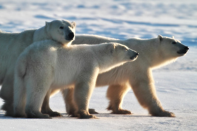 Polar Bear Mom with Cubs