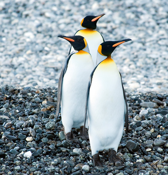 Trio of King Penguins on South Georgia Island.
