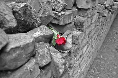 A rose in the remainings of crematorium no. 5