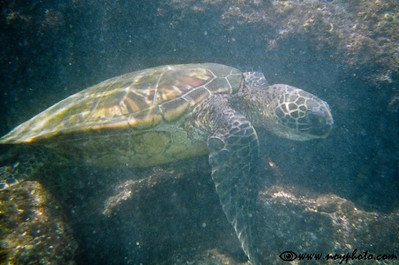 Hawaiian green sea turtle (honu) in Kahalu'u Bay