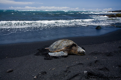 Green sea turtle at the black sand beach