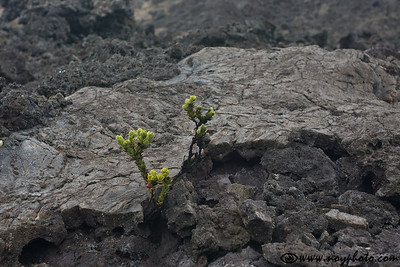 Inside Kilauea Iki crater; plants grow even on the surface of the a'a lava.