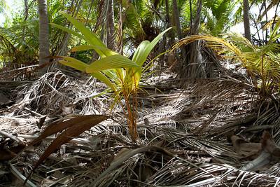 CAD34668 - foresta di palme (Cocco nucifera) foglia giovane, espansa per catturare la luce