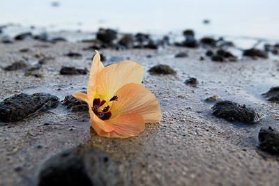 CAD35753 - Hibiscus tiliaceus, fiore spiaggiato