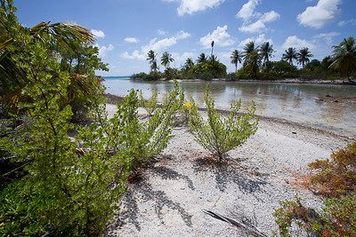 CAD34702 - vegetazione spontanea (Suriana maritima)