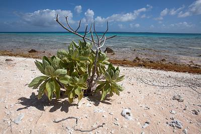 CAD34629 - Pianta pioniera (Tournefortia argentea) cresce sulle spiagge di corallo