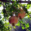 Pomegranate fruit.