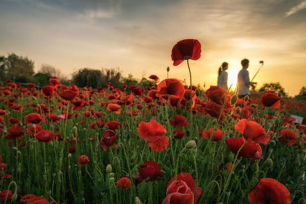 Poppy field, Haneul Park