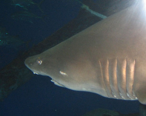 Lemon shark looking dangerous.
