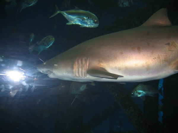 Lemon shark.