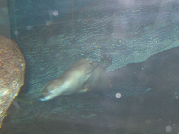 This is a Sea Otter and they were almost impossible to get a picture of. Zoom, zoom, zoom.