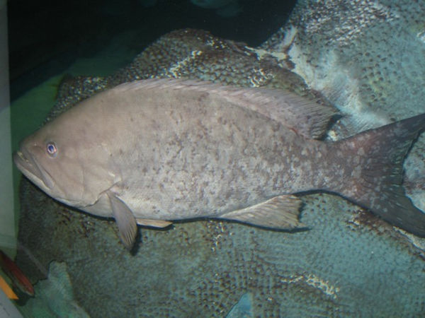 I think this is a small Grouper.