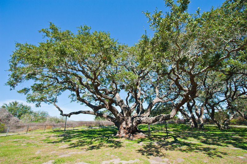 One of (maybe the) oldest Live Oaks in the world.  Over 1,000 years old.  Located in Goose Island State Park.