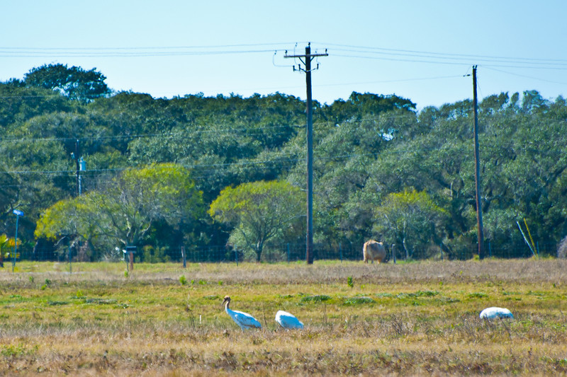 Whooping Cranes feeding near Goose Island State Park.
