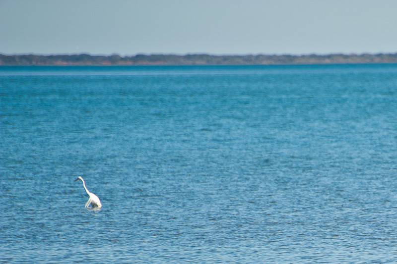 One of the ~250 Whooping Cranes that winter near Port Aransas/Rockport.  There are less that 450 Whoopers in existence.  And, I need a much bigger lens to capture them.