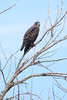 Eagle near La Mesa, NM
