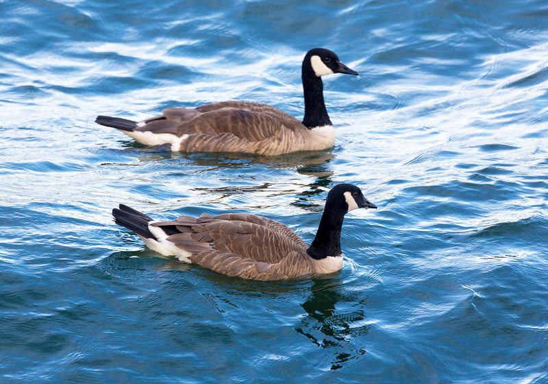 Canada Geese in the Willamette River