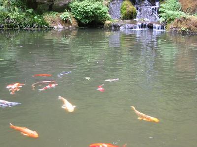 Japanese garden - koi feeding time