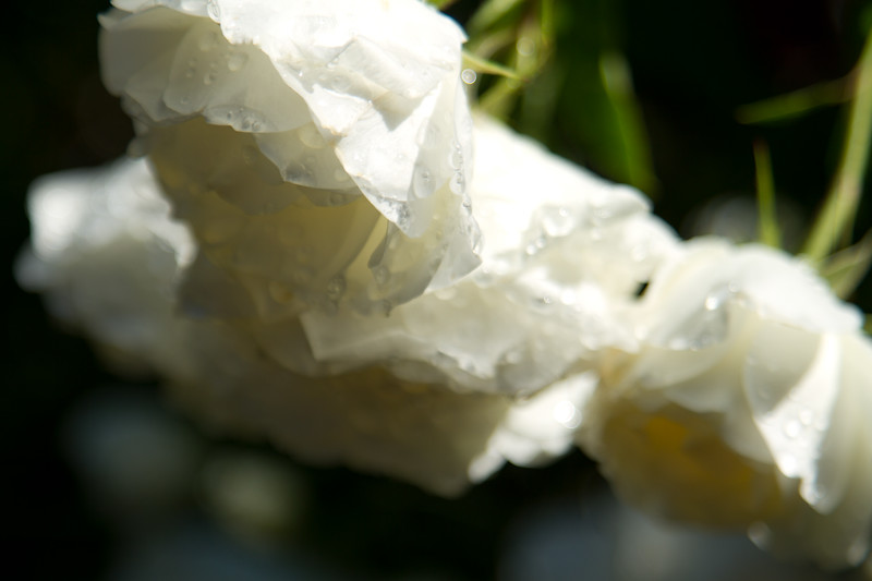 Wet White Roses - Portland Rose Garden
