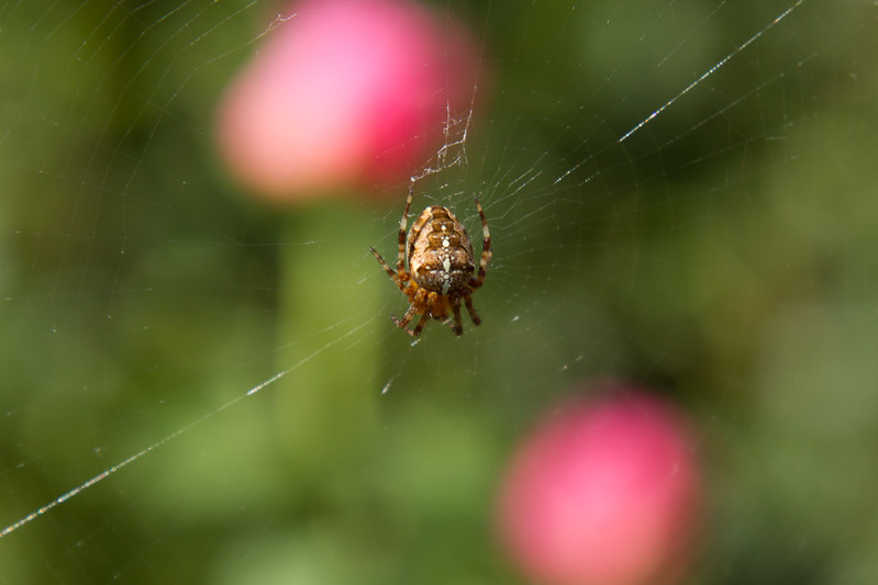 Little spider - Portland Rose Garden
