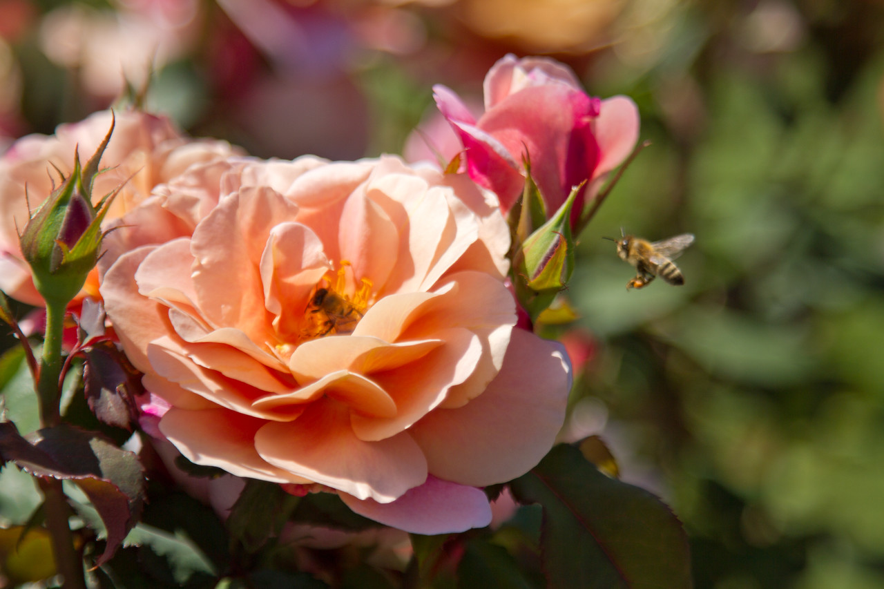 Two bees fight over the same flower - Portland Rose Garden