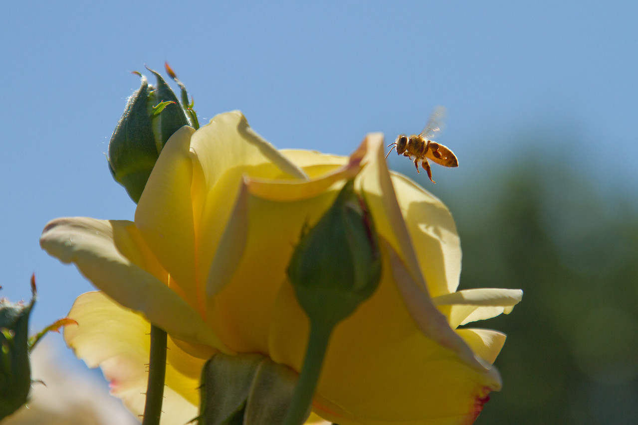 A bee jumps out as I shoot - Portland Rose Garden