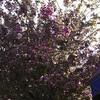 Flowering tree, Portland, OR
