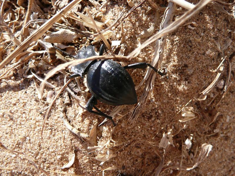 A beetle.