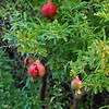 Gulbenkian gardens, pomegranite with fruit bursting out