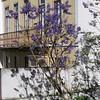 The Jacaranda trees were blooming