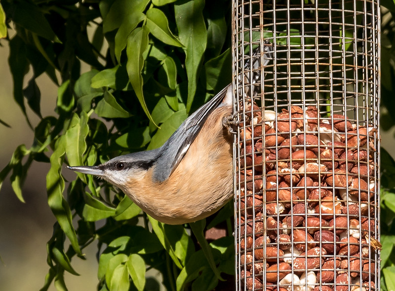 Nuthatch, Near Beira