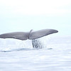 Sperm Whale - adult female
