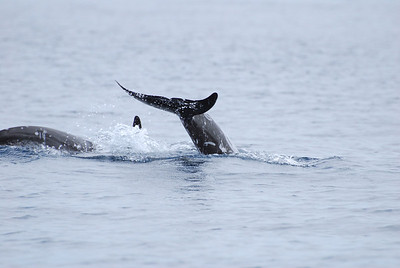 Risso's Dolphins - Mother with Calf
