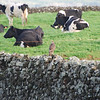 Common Buzzard (Buteo buteo) on rock wall, with cows