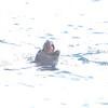 Monachus monachus (Mediterranean Monk Seal) - 1 of ~ 30<br /> Ilhas Desertas (Desert Islands)<br /> 28 December 2011
