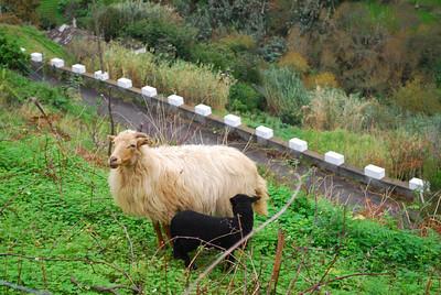 Levada do Castelejo (Referta) - 6K 25 December 2011 Baaaaaa Baaaaaah Black Sheep, have you any wool?
