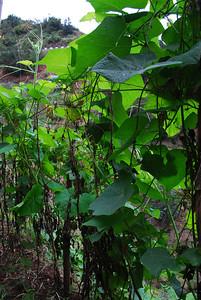 Levada do Castelejo (Referta) - 6K 25 December 2011 Terraced field crop