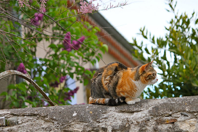Calico cat on a stone wall. Viviers, France.