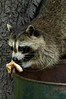 A racoon eats left over food from a trash can in a park in Connecticut. Racoons (Procyon lotor) are native to North and Central America.  Although they are classified carnivores (meat eaters) they really are omnivorous, eating fish, frogs, clams, crayfish, termites, ant larvae, mice, insects and fruit, berries, nuts, vegetables and dog and cat food if they are living in urban areas. Adults weight about 20-25 lbs (9-11 kg) and females gestate for two months with litters of 1-7. Life expectancy is about six years in the wild.  They do not hibernate but will become dormant in the cold northern winters.  Raccoons have a reputation for clever nighttime raids on garbage cans and because of their  almost hand-like front paws with their long, thin mobile fingers they can learn to open cans, latches, turn on faucets and get into all kinds of fun and trouble. (Australfoto/Douglas Engle)