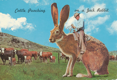 Some Cowboys use their favorite Bronc for cattle punching  and some, as you can see, prefer the Jack Rabbit