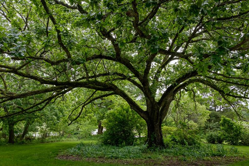 swamp_oak-5050