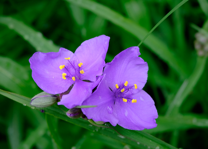 purple_flowers-5043