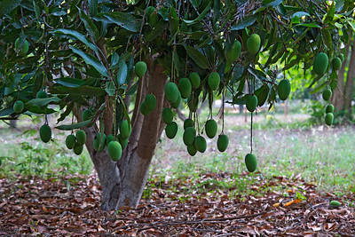 'Tis the season of the Mangoes...