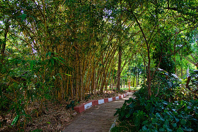 A lovely bamboo canopy along the walking path