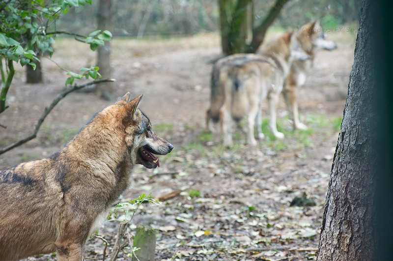 Wolves at the Prague zoo