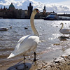 Mute swans. Prague spring 2017