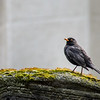 Jewish Cemetery: Blackbird